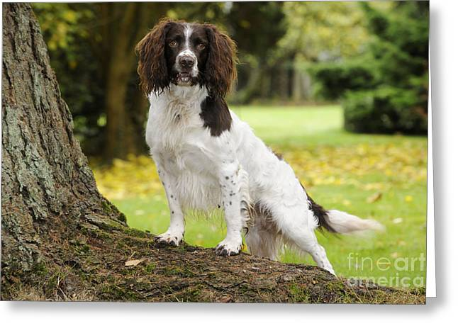 Tree Roots Greeting Cards - English Springer Spaniel Greeting Card by John Daniels