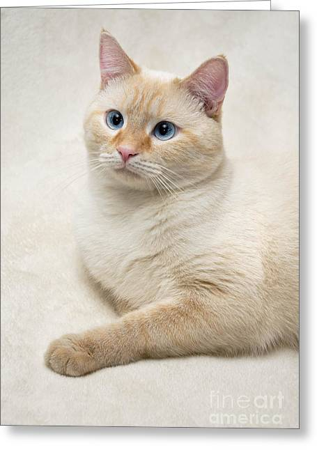 Flaming Greeting Cards - Flame Point Siamese Cat Greeting Card by Amy Cicconi