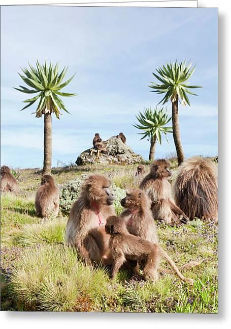 Gelada, Gelada Baboon (theropithecus Greeting Card by Martin Zwick