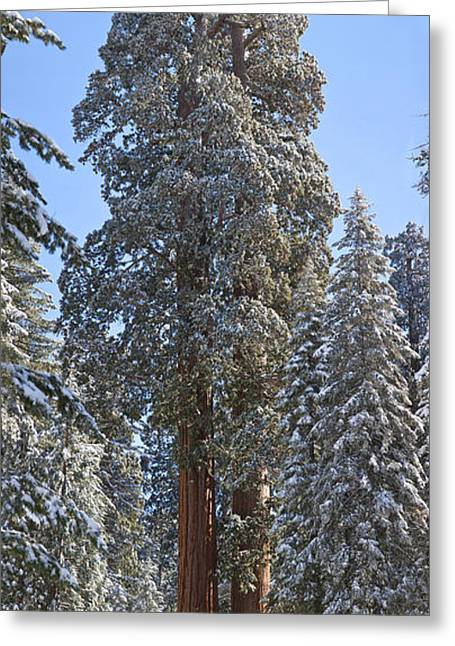 Kings Canyon Greeting Cards - Giant Sequoias Greeting Card by Gregory G. Dimijian, M.D.