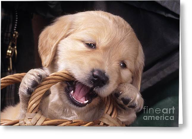 Gnawing Greeting Cards - Golden Retriever Puppy Greeting Card by John Daniels
