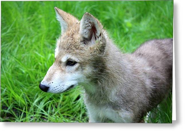 Puppies Photographs Greeting Cards - Gray Wolf Pup Greeting Card by Amanda Stadther