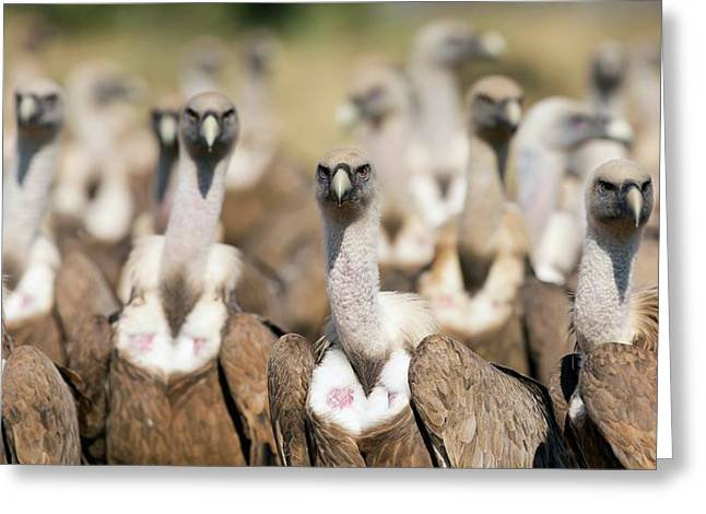 Griffon Vultures Greeting Card by Nicolas Reusens