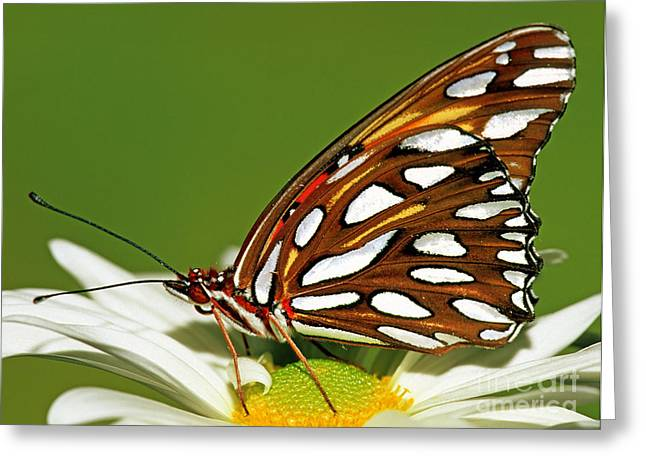 Duval County Greeting Cards - Gulf Fritillary Butterfly Greeting Card by Millard H. Sharp