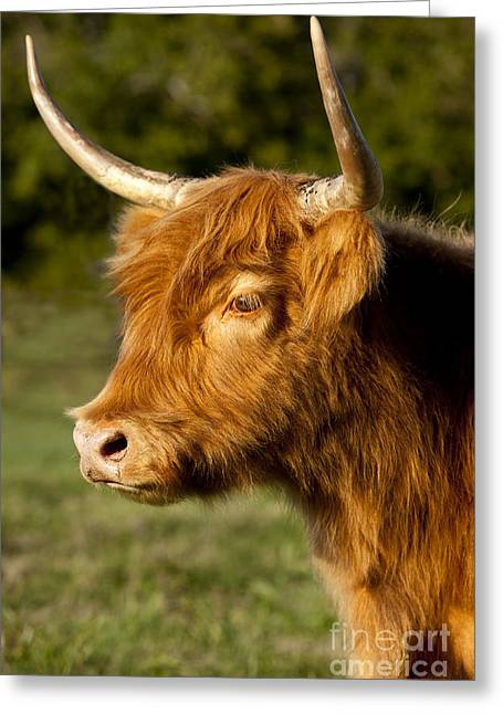 Franklin Farm Greeting Cards - Highland Cow Greeting Card by Brian Jannsen