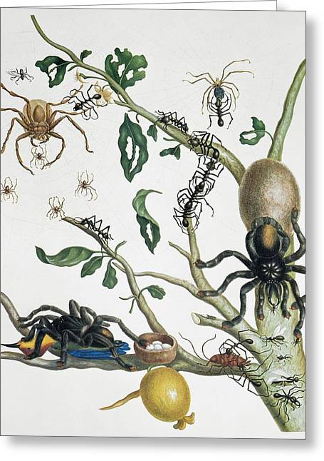 Huntsman Photographs Greeting Cards - Insects of Surinam, 18th century Greeting Card by Science Photo Library