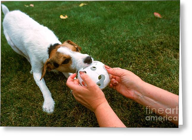 Dog Playing Ball Greeting Cards - Jack Russell Terrier Greeting Card by Jim Corwin