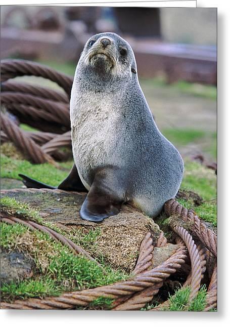 Kerguelen Fur Seal, Antarctic Fur Seal Greeting Card by Martin Zwick