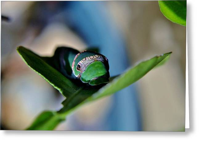 Papilio Thoas Greeting Cards - King Page Swallowtail  Caterpillar Greeting Card by Werner Lehmann