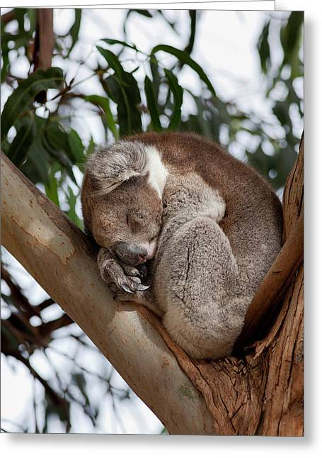 Koala (phascolarctos Cinereus Greeting Card by Martin Zwick