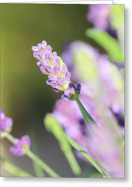 South Of France Greeting Cards - Lavender Greeting Card by Heike Hultsch