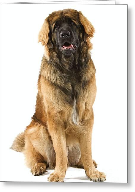 Leonberger Greeting Cards - Leonberger Dog Greeting Card by Jean-Michel Labat