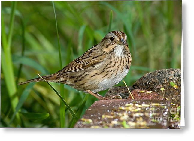 Sparrow Greeting Cards - Lincolns Sparrow Greeting Card by Anthony Mercieca