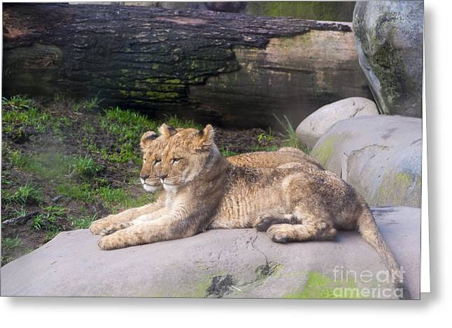 Cute Greeting Cards - Lion Cubs Greeting Card by Mandy Judson
