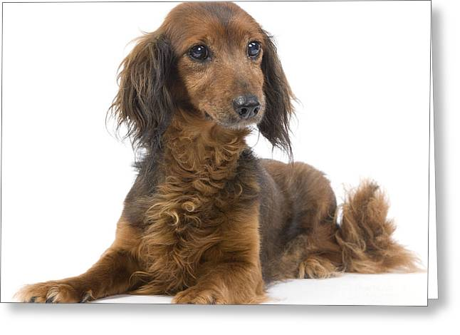 Senior Dog Greeting Cards - Long-haired Dachshund Greeting Card by Jean-Michel Labat