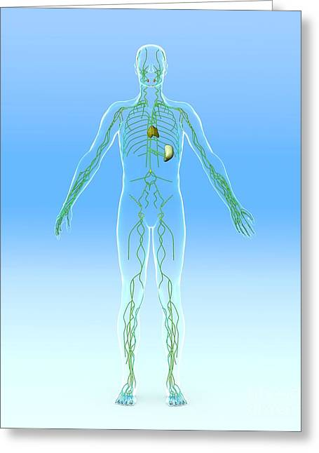 Drain Greeting Cards - Lymphatic System, Artwork Greeting Card by Roger Harris