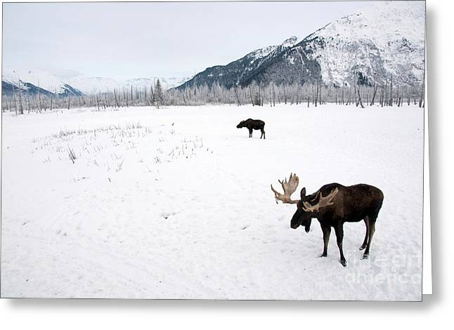 Alces Alces Greeting Cards - Moose Alces Alces Greeting Card by Mark Newman