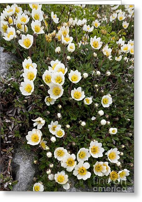 Avens Greeting Cards - Mountain Avens Dryas Octopetala Greeting Card by Bob Gibbons