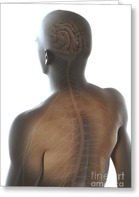 Cerebral Cortex Greeting Cards - Nerves Of The Upper Body Greeting Card by Science Picture Co
