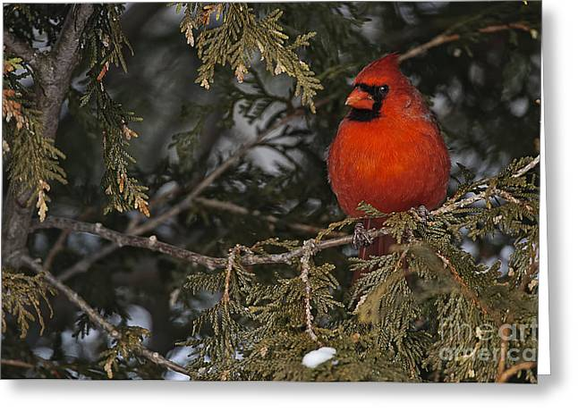 Michael Cummings Greeting Cards - Northern Cardinal Greeting Card by Michael Cummings