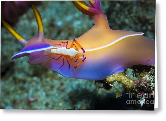 Nudibranch Greeting Cards - Nudibranch And Emperor Shrimp Greeting Card by Georgette Douwma