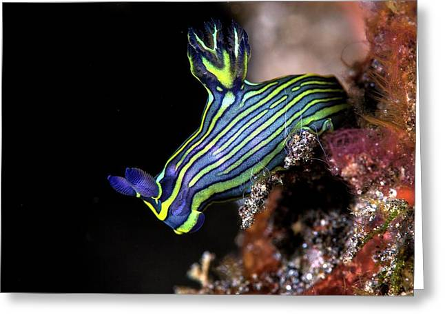 Nudibranch Greeting Card by Ethan Daniels
