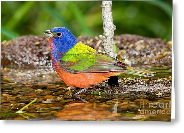 Painted Bunting Greeting Card by Anthony Mercieca