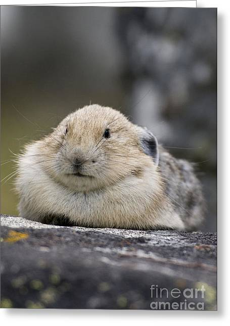 Pika Greeting Card by William H. Mullins