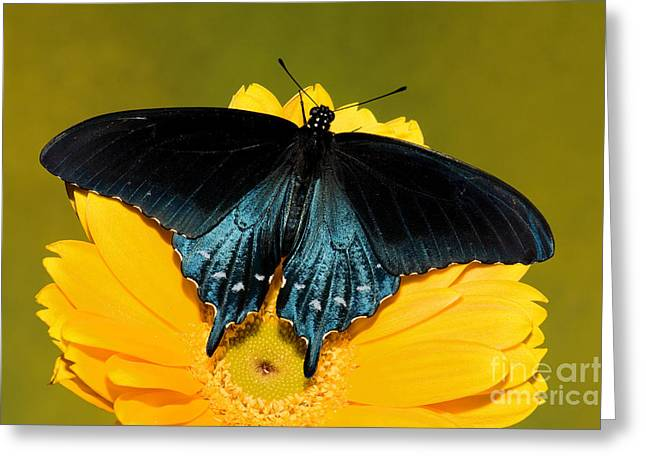 Pipevine Swallowtail Butterfly Greeting Card by Millard H. Sharp