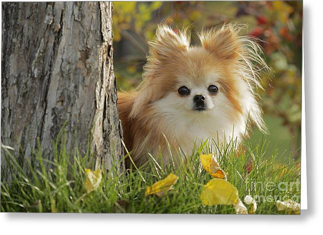 Hiding Behind Greeting Cards - Pomeranian Dog Greeting Card by Rolf Kopfle