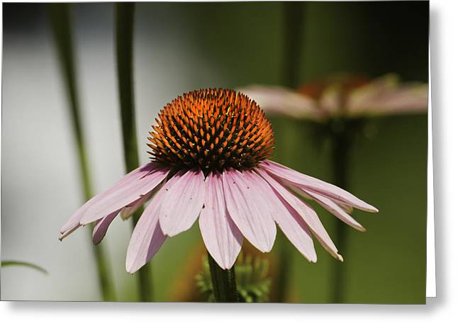 Stamen Greeting Cards - Purple Cone Flower - Echinacea Greeting Card by Keith Webber Jr