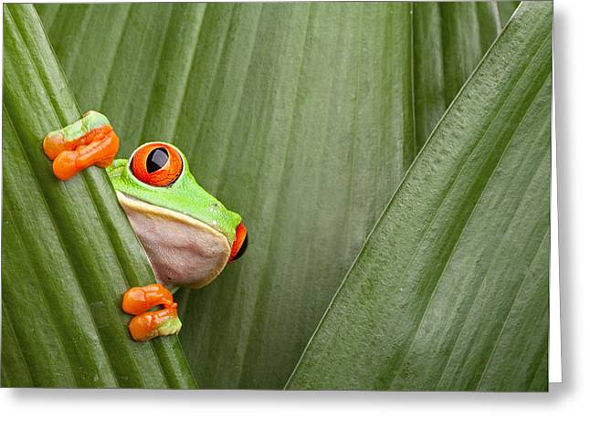 Small Trees Greeting Cards - Red Eyed Tree Frog  Greeting Card by Dirk Ercken