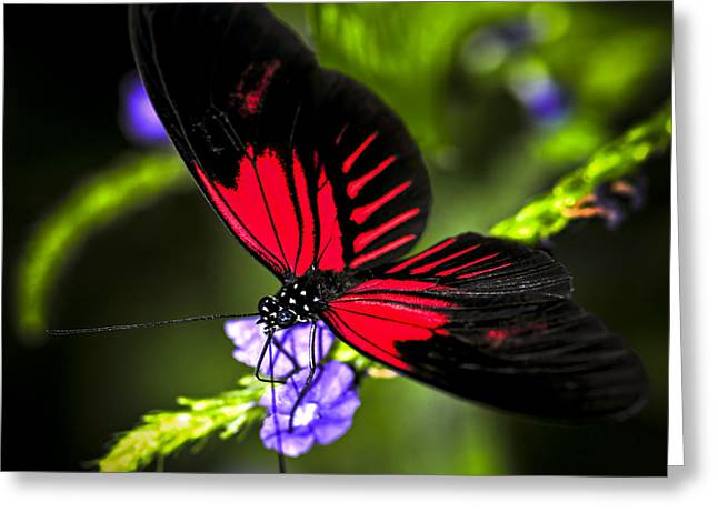 Antenna Greeting Cards - Red heliconius dora butterfly Greeting Card by Elena Elisseeva
