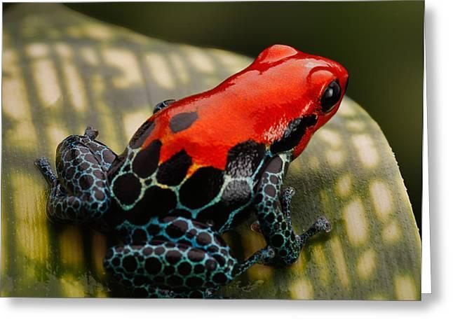 Red Poison Dart Frog Greeting Card by Dirk Ercken