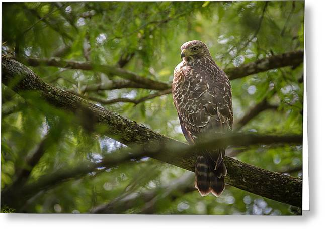 Bird Rookery Swamp Greeting Cards - Red Shouldered Hawk Greeting Card by Bill Martin