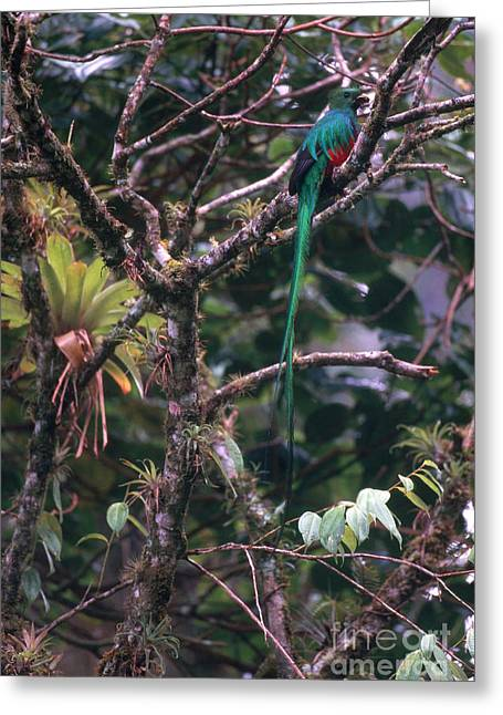 Bird On Tree Greeting Cards - Resplendent Quetzal Greeting Card by Art Wolfe