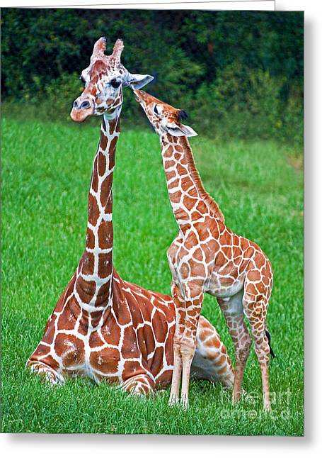 Jacksonville Greeting Cards - Reticulated Giraffe Calf With Mother Greeting Card by Millard H. Sharp