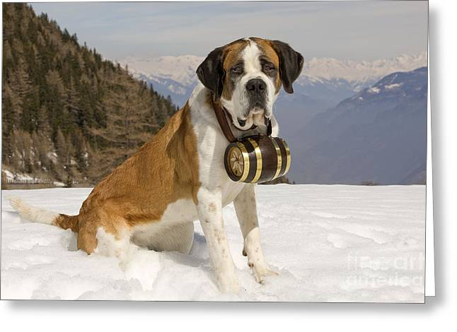 Canid Greeting Cards - Saint Bernard Greeting Card by Jean-Michel Labat