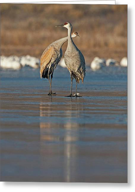 Sandhill Crane (grus Canadensis Greeting Card by Larry Ditto