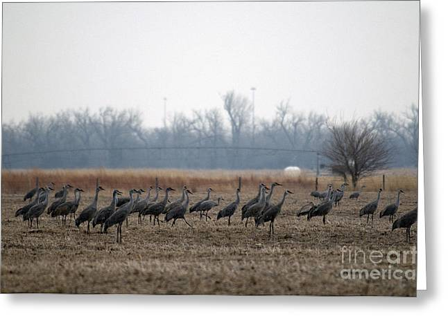 Crane Migration Greeting Cards - Sandhill Cranes Greeting Card by Mark Newman