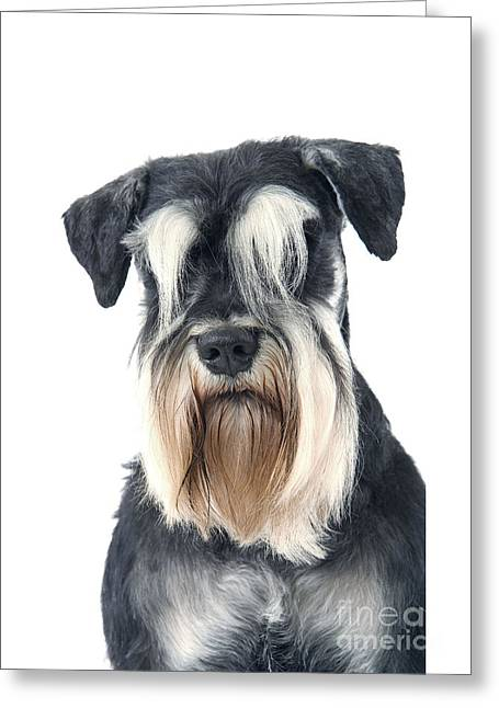 Eyebrow Greeting Cards - Schnauzer Greeting Card by Jean-Michel Labat