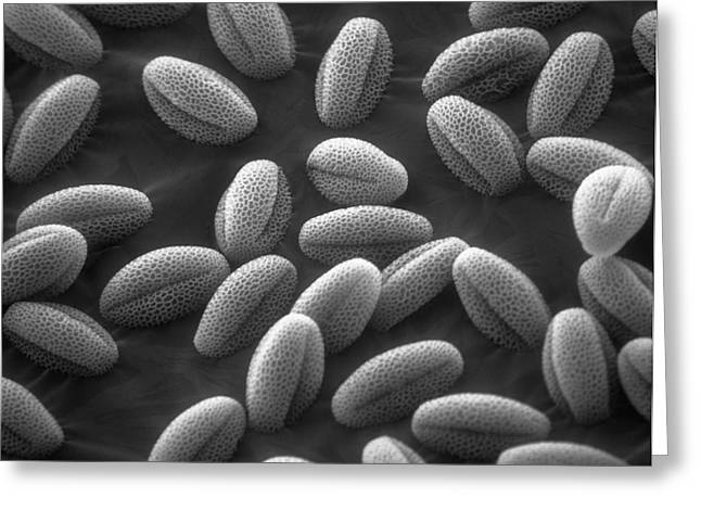 Sem Greeting Cards - Sem Of Grass Pollen Greeting Card by David M. Phillips