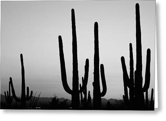 Saguaro Cactus Greeting Cards - Silhouette Of Saguaro Cacti Carnegiea Greeting Card by Panoramic Images