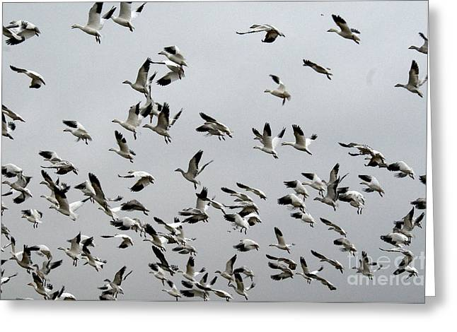 Water Fowl Greeting Cards - Snow Geese Greeting Card by Mark Newman