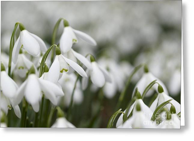Snow Drops Greeting Cards - Snowdrop Galanthus Nivalis Flowers Greeting Card by Adrian Bicker