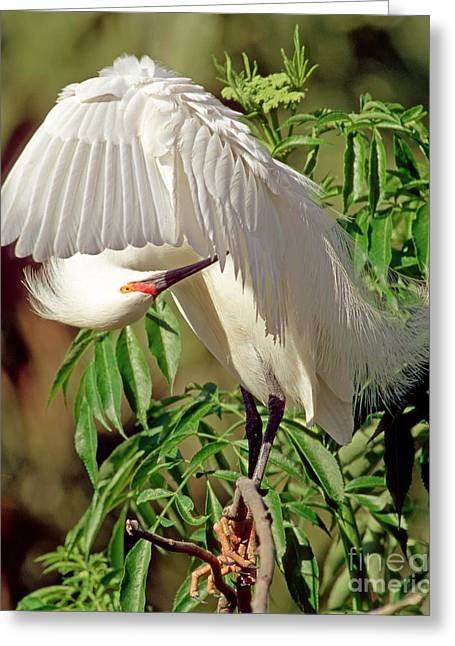 Egretta Thula Greeting Cards - Snowy Egret Greeting Card by Millard H. Sharp
