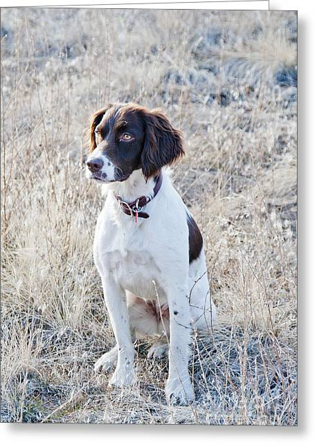 House Pet Greeting Cards - Springer Spaniel Greeting Card by William H. Mullins