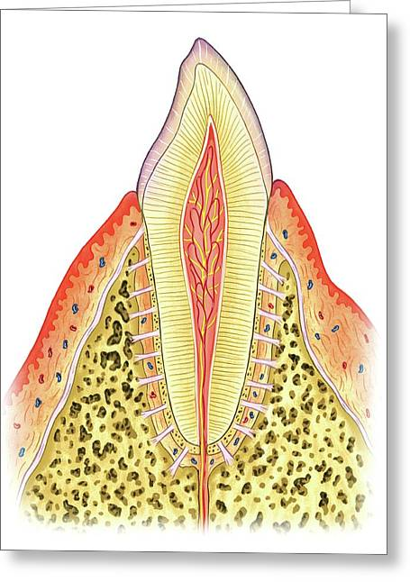 Structure Of Incisor Tooth Greeting Card by Asklepios Medical Atlas