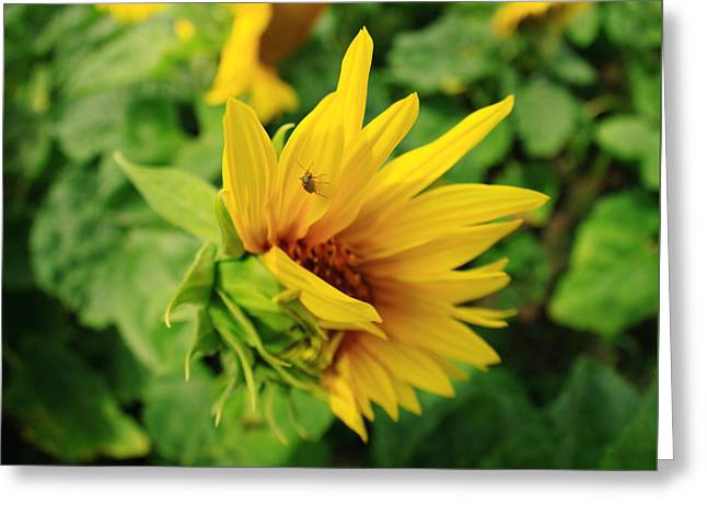 Sunflower Greeting Card by Falko Follert