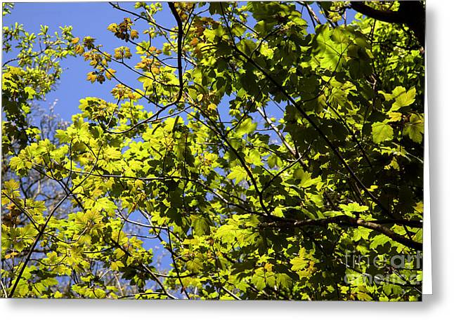 Sycamore Leaves Acer Pseudoplatanus Greeting Card by Dr. Keith Wheeler